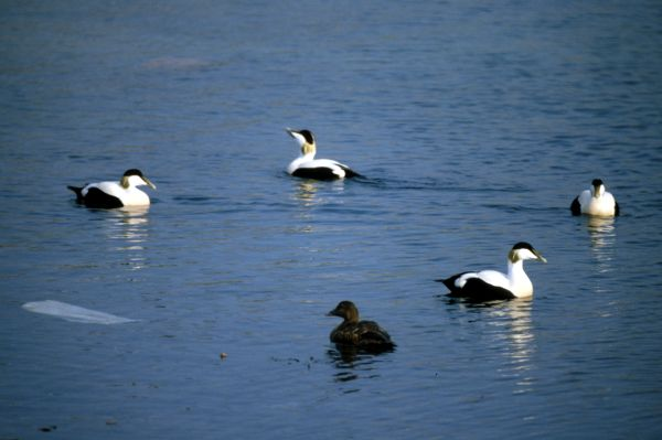 Eiders in Mid Yell Voe