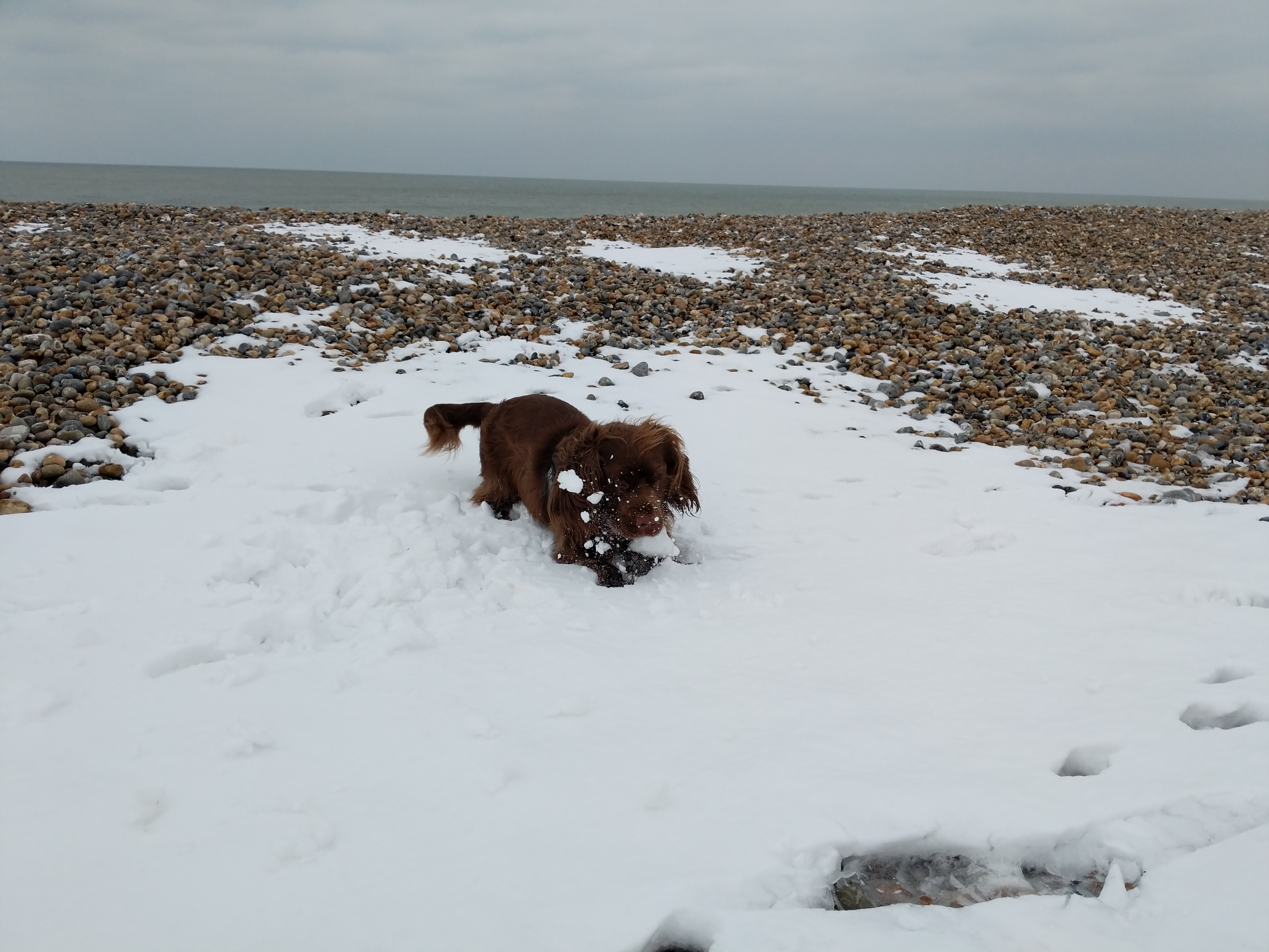 Sussex Spaniel pouncing on a layer of snow on a pebble beach.