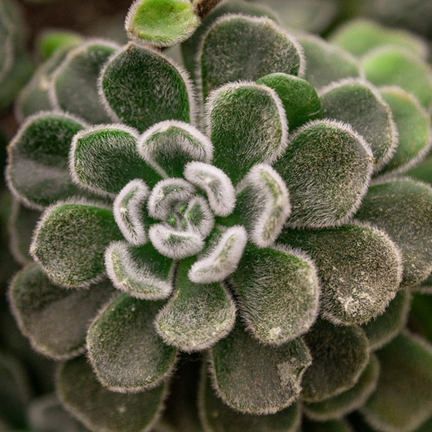 Visual identity inspiration: Succulent macro photograph
