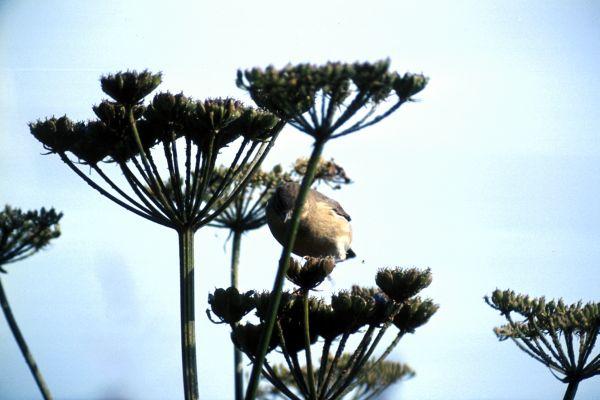 Blackcap feeds on wild angelica