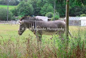 A landscape photograph of a zebra at Marwell Zoo