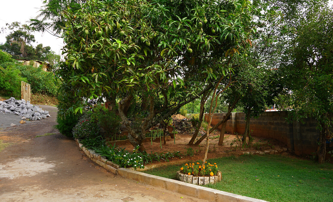 Mango tree - a rare scene in Coonoor - growing and fruiting well