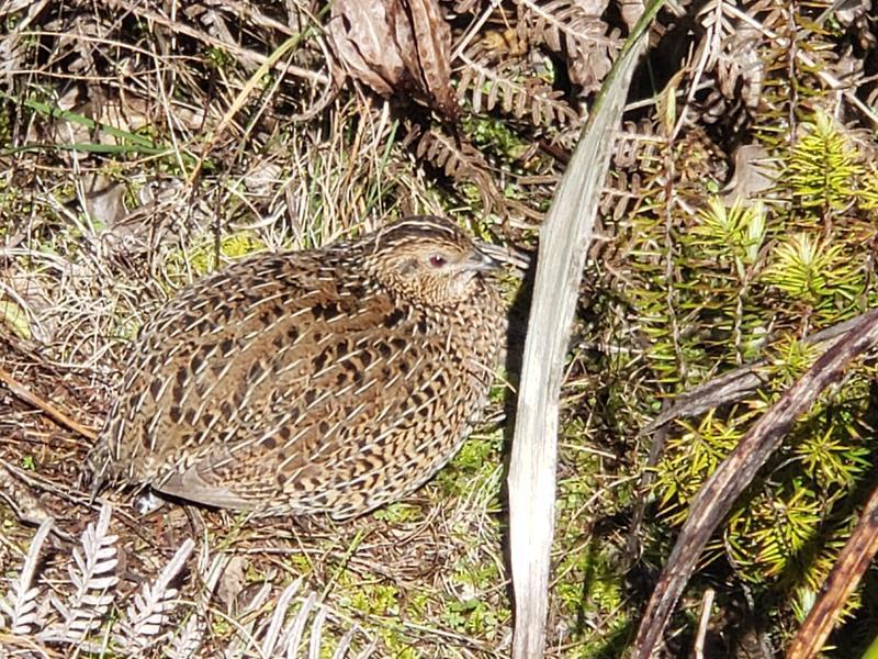 A brown quail has no fear of predators here.