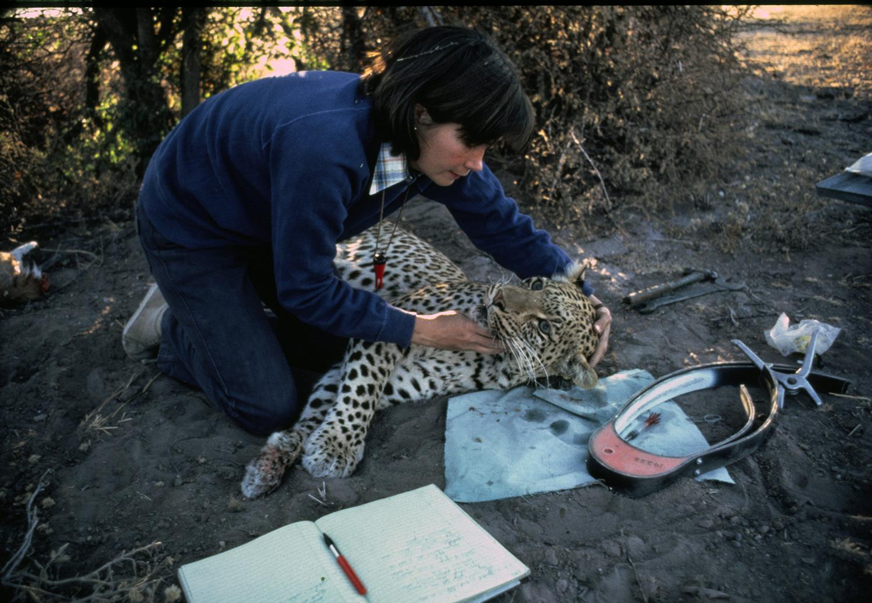 Делия надевает радио-ошейник на леопарда по имени Розовая Пантера. Он часто приходил в их лагерь и однажды спал на простыне прямо у входа в их палатку. Фото: Марк Оуэнс