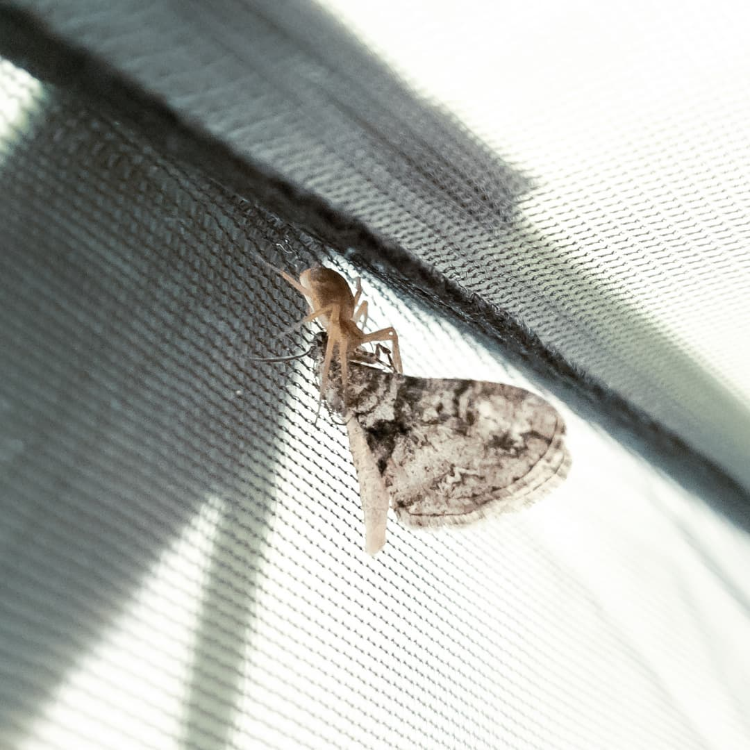 A yellow spider eats a moth on the inside of a tent.