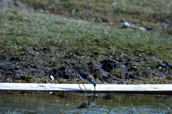 Wood Sandpiper uses plank as a raft