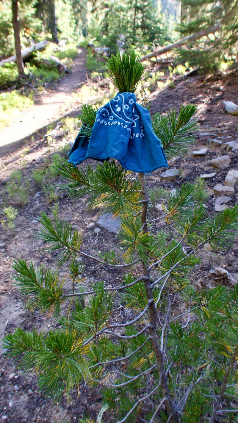 Bluejay's bandana tied to a small tree