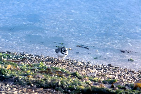 Ringed Plover on pebble beach