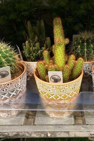 Cactus in deco stenen pot
