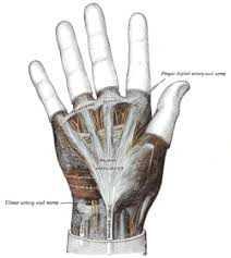 Billede af begyndende strengdannelse og billede af håndens bindevævshinde (from wikipedia)