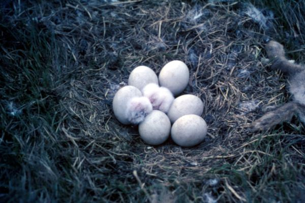 Snowy Owl nest with six eggs and a chick