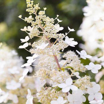 Who run the world? White hydrangeas! #whiteflowers #hydrangeapaniculata #whoruntheworld 📸 @sabrinarothephotography . . . . #whiteflowers #hydrangeapaniculata #gardeninspo #gardening_love #gardeninterior #gardeninglife #gardeningideas #gardeningtips #gardenings #gardenlove #livingcreations #plantsofinstagram #gardenflowers #flora #hydrangealovers #hydrangeanursery