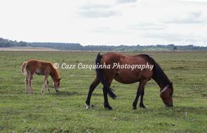 Mother Horse and Pony eating grass in the New Forest