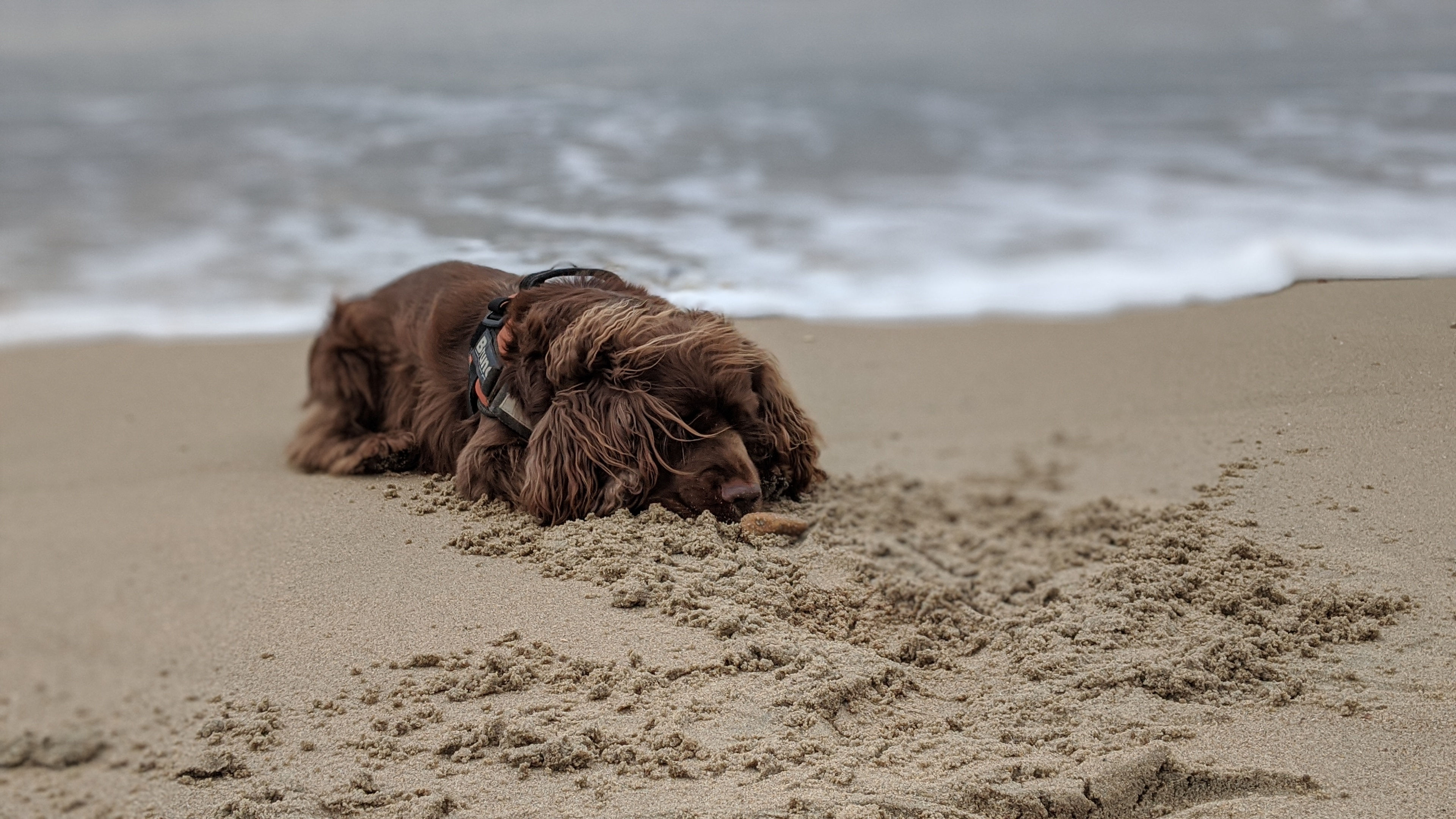Sussex Spaniel laying on the sand at Shoreham Beach.