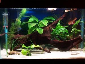 Aquarium - Driftwood In Your Aquarium