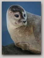 Seal. Copyright Davy Cooper  » Click to zoom ->