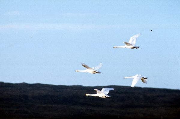 Four Whooper Swans in perfect formation