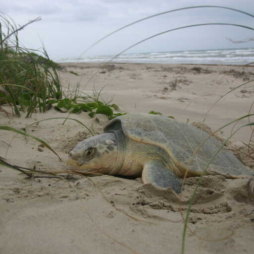Sea Turtle Nest Survey
