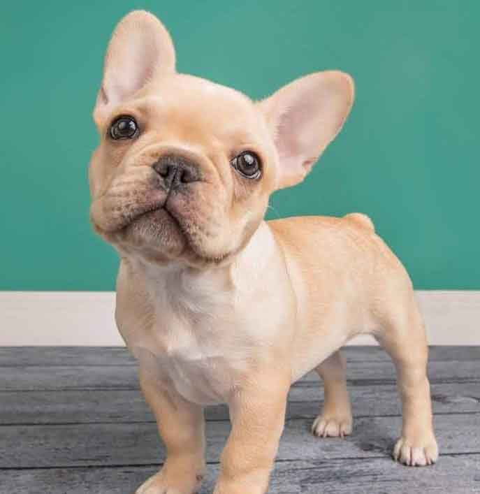 Image of a true cream French Bulldog Puppy standing