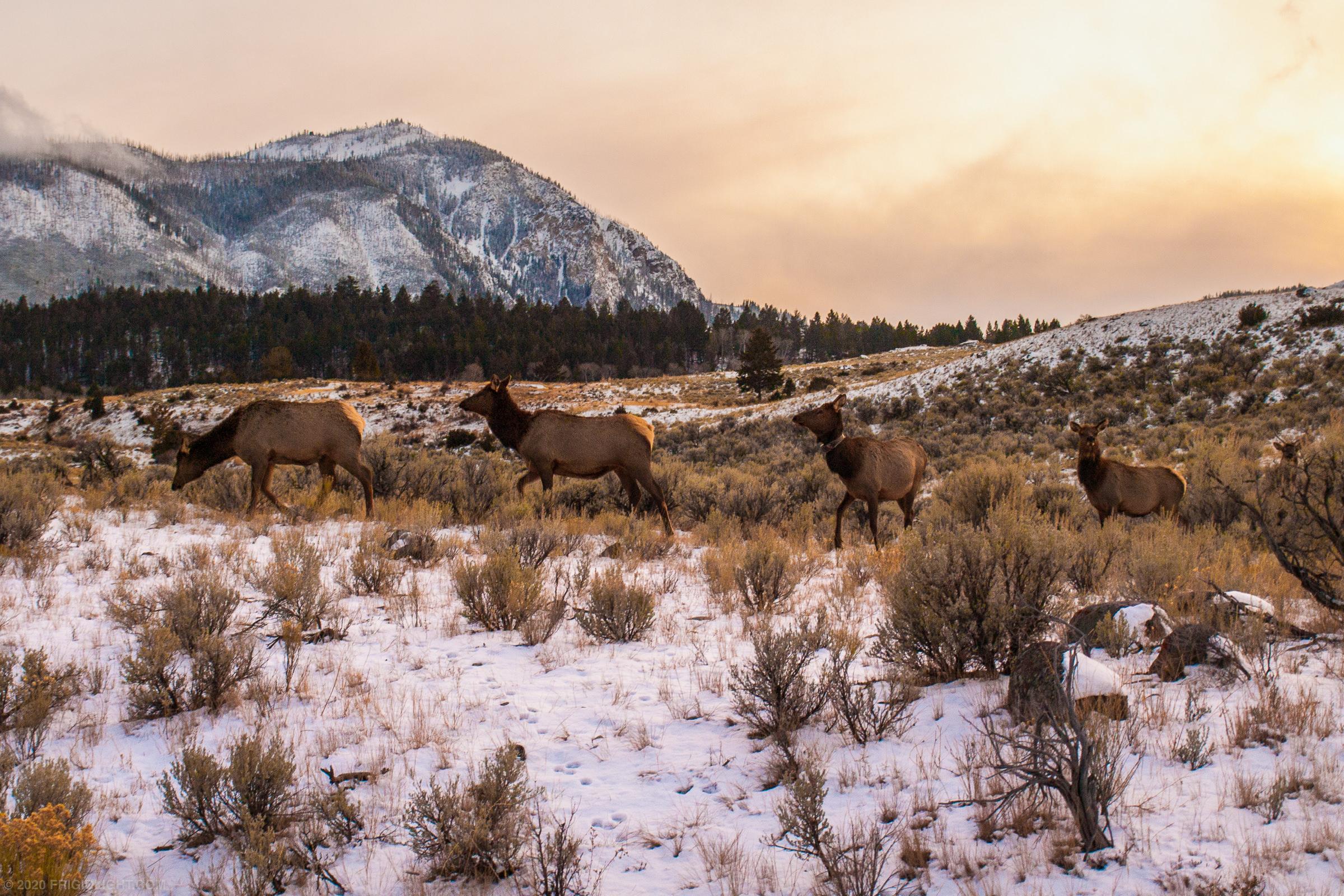 Elk Golden Glow