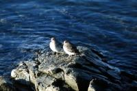 Purple Sandpipers