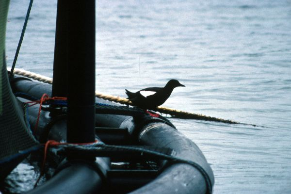 Black Guillemot stands on a salmon cage
