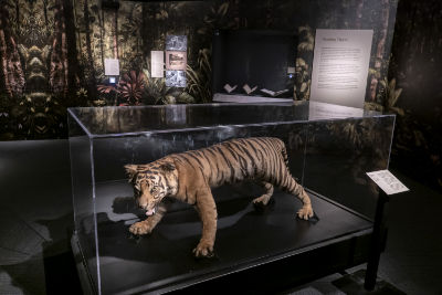 A taxidermized tiger on display.
