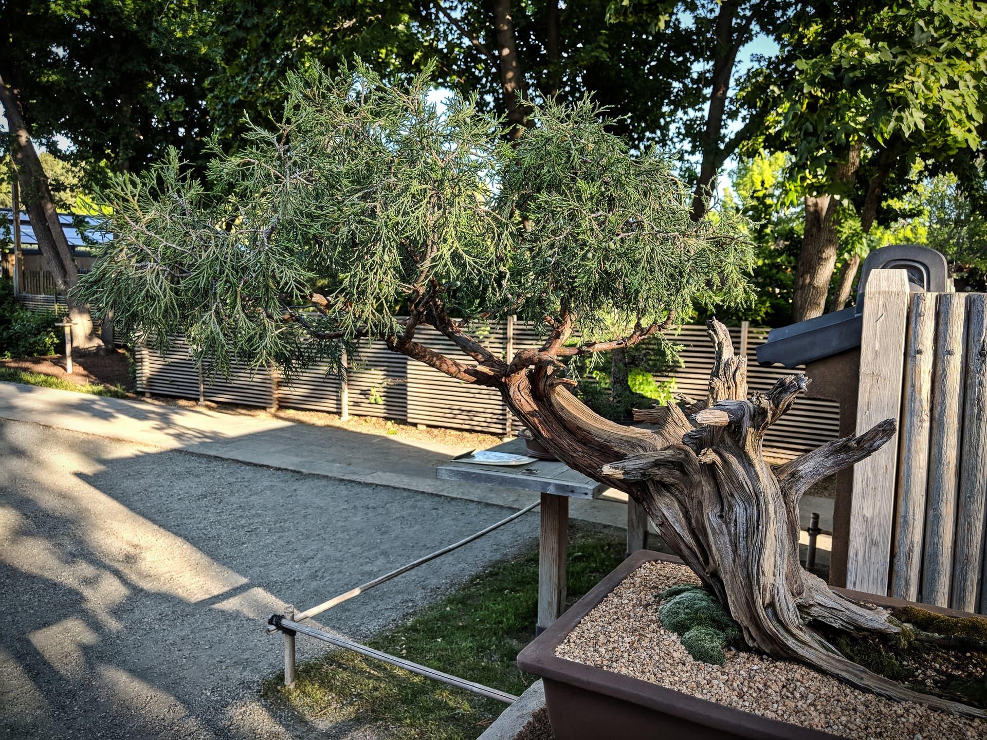 A juniper bonsai.