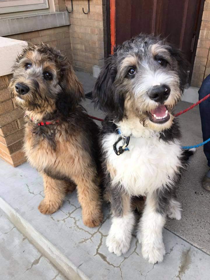 dogs in chicago