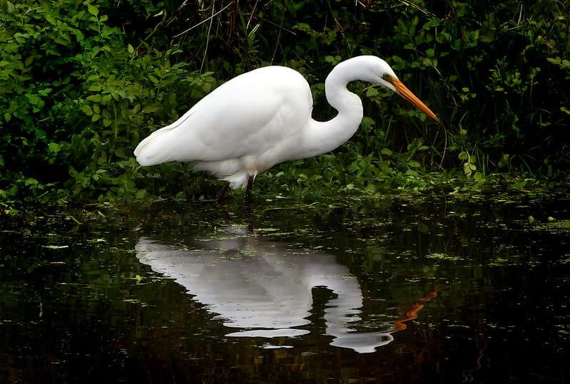 Garça, ave piscívora. Seu bico longo e fino é adaptado para capturar rapidamente os peixes dentro da água.