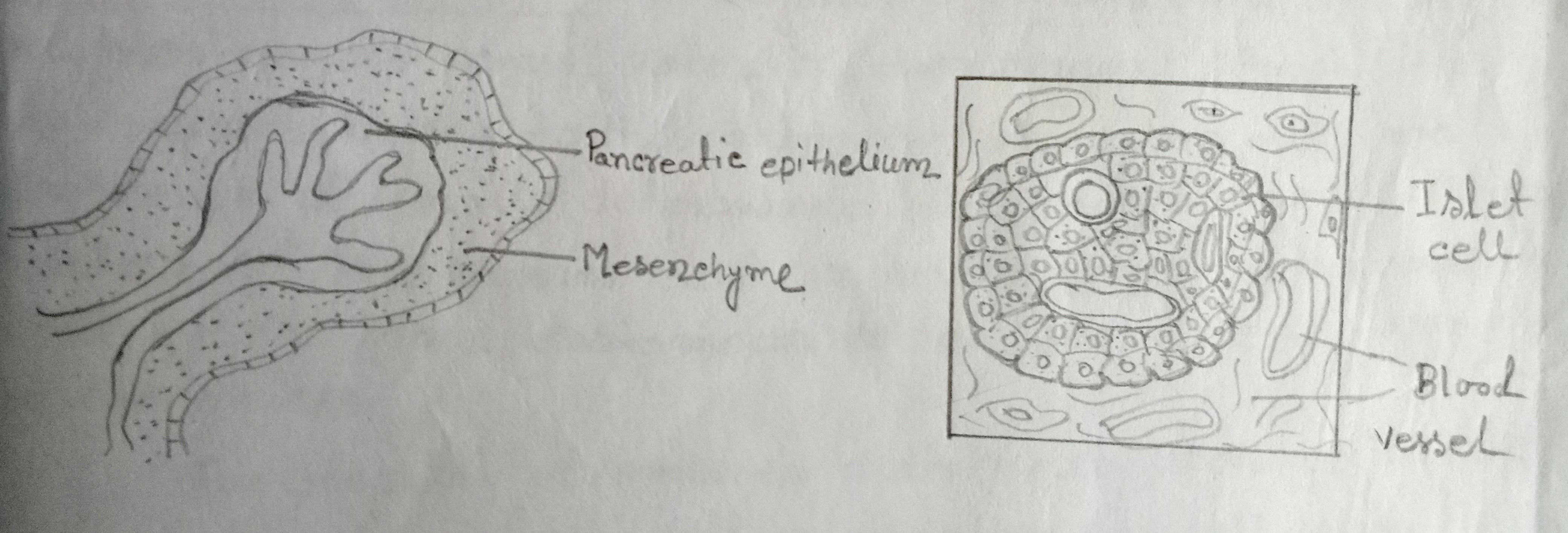 Development of pancreas in a mammal