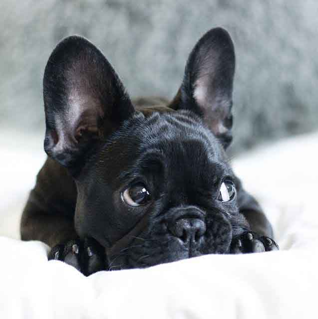 Photo of a black french bulldog laying on the bed