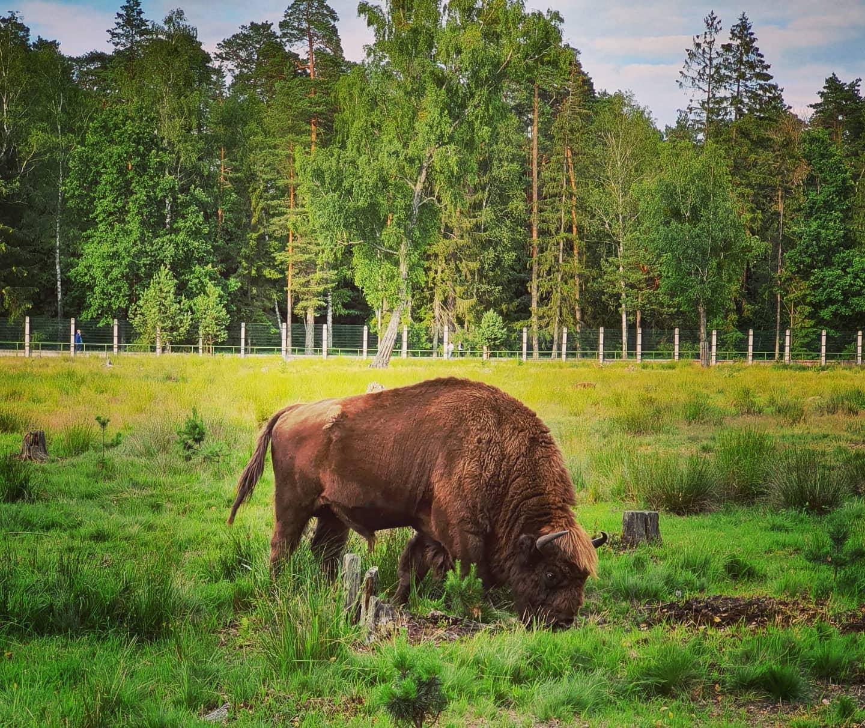 The bison grazes. National Park Belovezhskaya Pushcha. Summer 2020 Photo by A.Basak