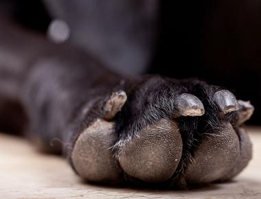 How Many Toes Does a Dog Have?