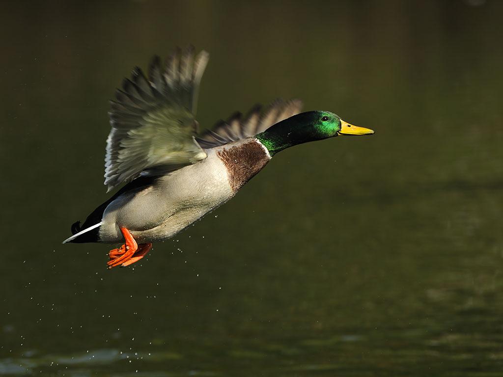 A colorful male mallard, eurasian wild duck.