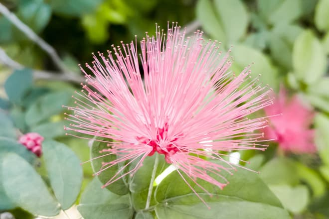 A delicate pink tropical flower with incredibly long stamen and few visible petals.