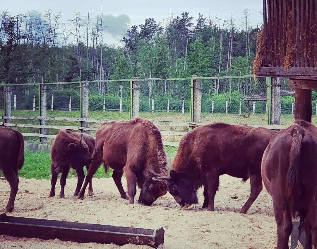 Young bison butt. National Park Belovezhskaya Pushcha. Summer 2020 Photo by A.Basak