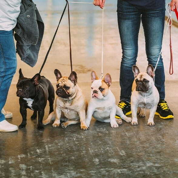 Adult French Bulldogs