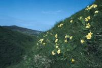 Primroses grow on the side of a hill