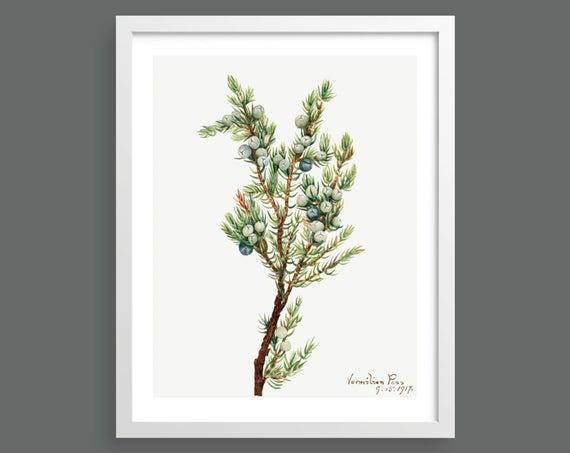 Mountain Juniper (Juniperus Sibirica) by Mary Vaux Walcott