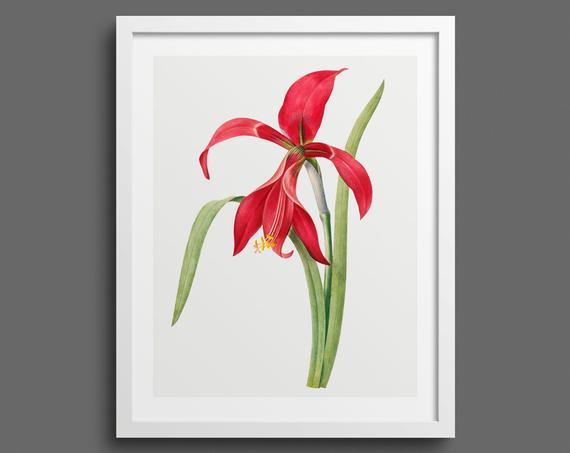 Red Amaryllis by Pierre-Joseph Redouté