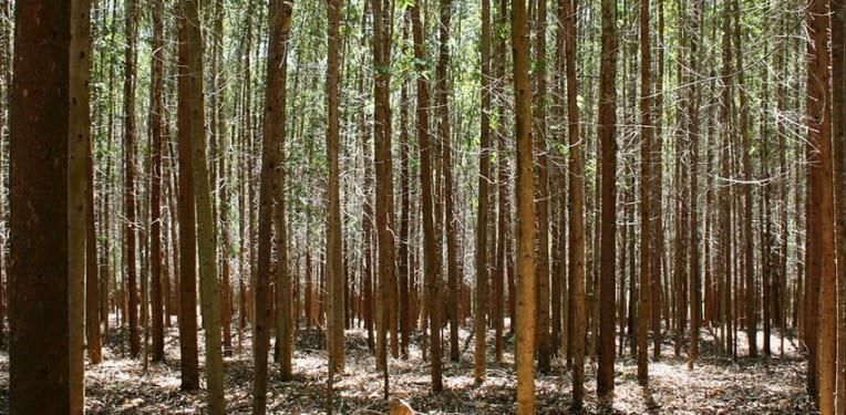 1. kép: Génmódosított eukaliptusz ültetvény
