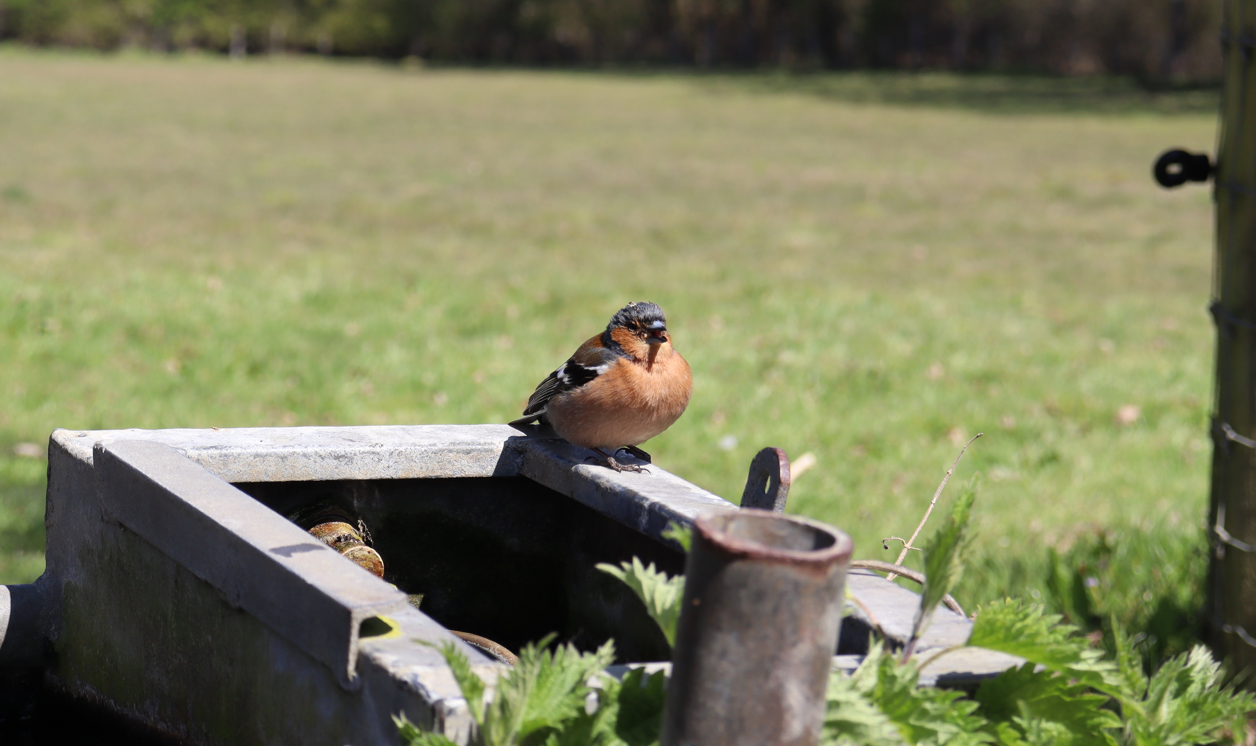 A chaffinch sat on a metal trough with a field in the background.