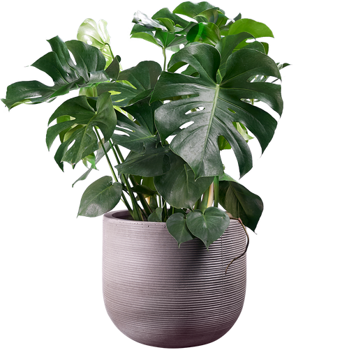 Mature Cheese Plant (Monstera deliciosa ) - from £70