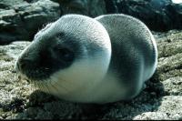 A Hooded Seal pup at Hascosay.
