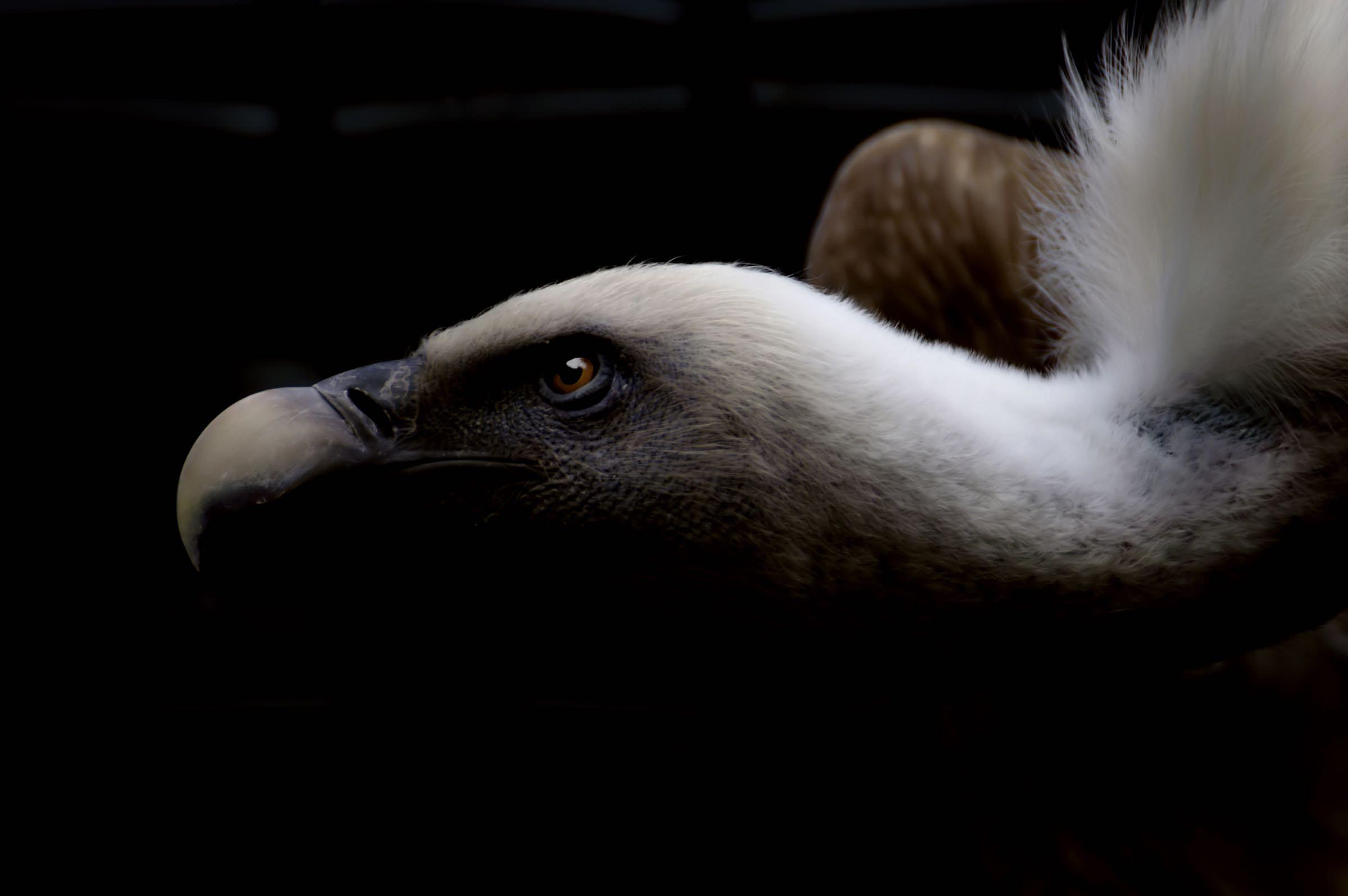 Presentation Vulture