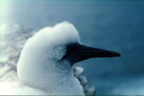 A young Gannet in close-up