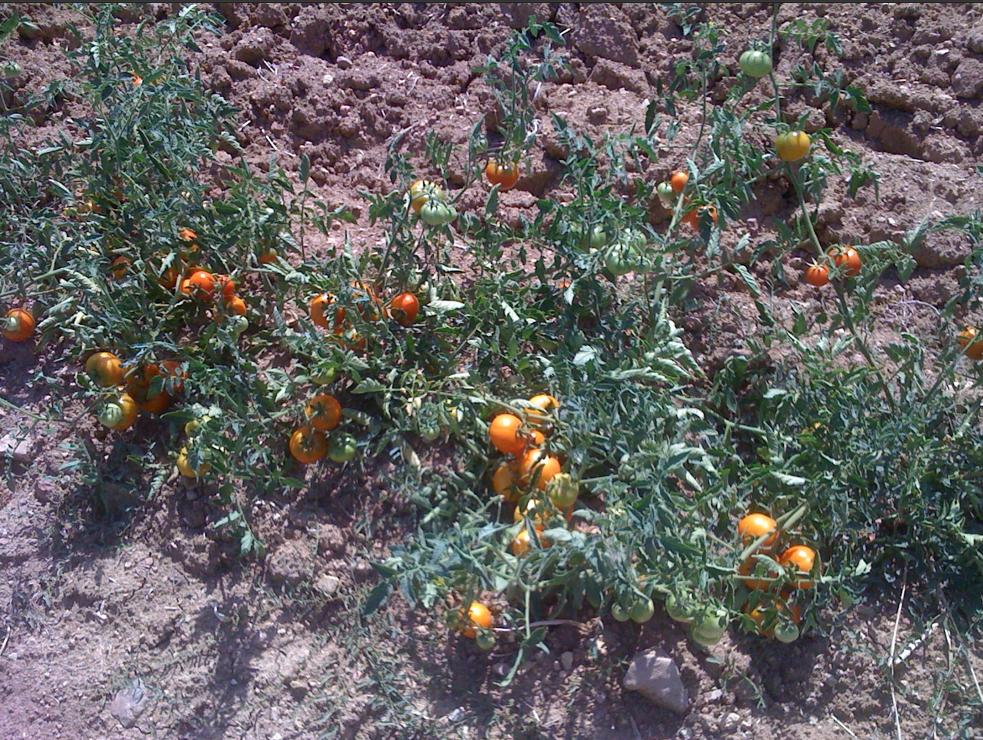 tomacons cultiu