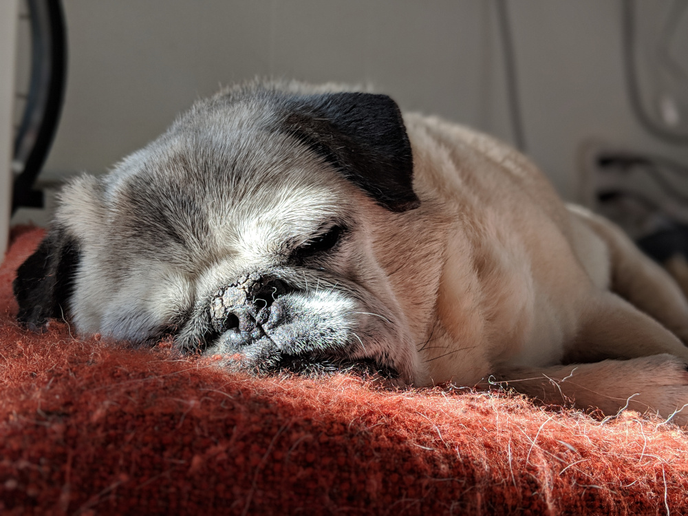 Pugsy, a pug, sleeping on a red bed.