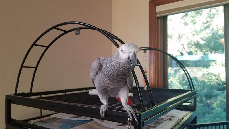 Meet Corey the African Gray parrot